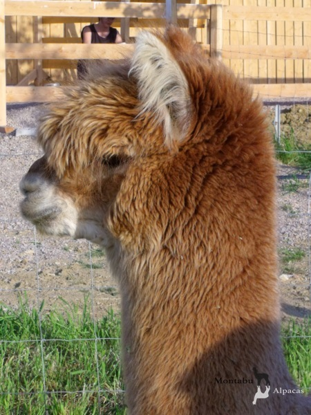 Allevamento_montabu_Alpacas_encounter