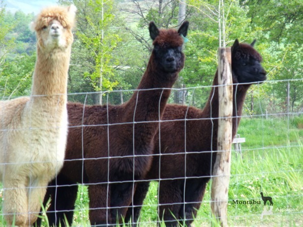 Allevamento_montabu_Alpacas_encounter_ginevra_gilian
