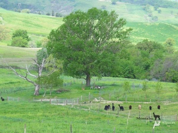 Allevamento_montabu_Alpacas_esterno2