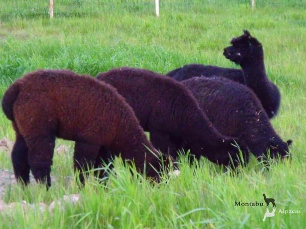 Allevamento_montabu_Alpacas_gruppo_alpaca