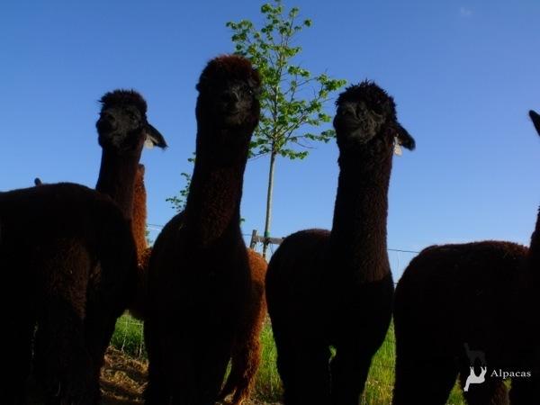 Allevamento_montabu_Alpacas_gruppo_alpaca2