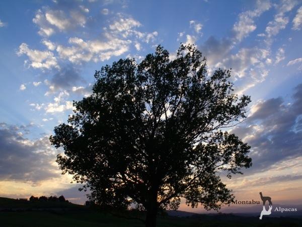 Allevamento_montabu_Alpacas_tramonto